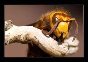 Hornet on Branch by Colin-Moore