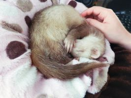 Sleepy ferret Hobbel by pimpelpet