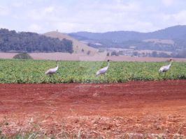3 Cranes Red Soil by tablelander