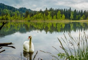 Swan Lake by MattRiggPhotography
