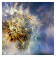 Dandelion new by ironicna