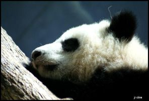 Sleeping Baby Panda by eskimoblueboy