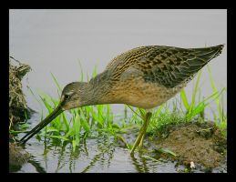 Toysmith Dowitcher by swashbuckler