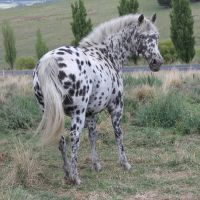 Leopard Appaloosa 16 by How-You-Remind-Me