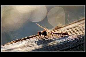 A dragonfly and bokeh by Rajmund67