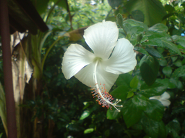 Hibiscus_0037 by Shuberth