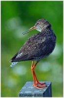 Red Shank Portrait III by andy-j-s