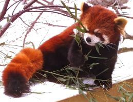Red Panda Stock 9 by HOTNStock