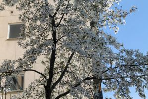 Another blooming tree by zhuravlik26