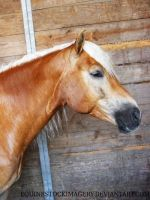 Haflinger 2 by EquineStockImagery