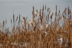 Cattails by melly4260