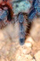 Avicularia leg by LeoGg