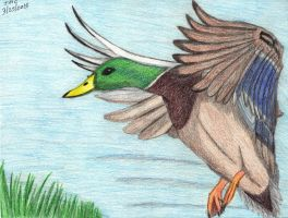 Mallard Duck flying by dragontamer272