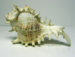 Conch Shell Stock11 by NoxieStock