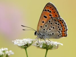 Lycaena thersamon by dralik