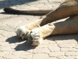 Lion back paws by photographyflower