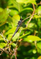 Dragon Fly by luckyseven11779