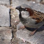 House Sparrow..Male by Grandmagoingnuts