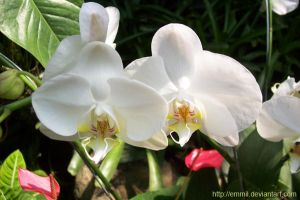 White Phalaenopsis by emmil