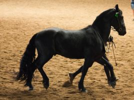 STOCK - 2014 Andalusian Nationals-211 by fillyrox