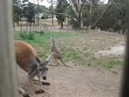 RedKangaroo-14-Stock by SilkenWebs