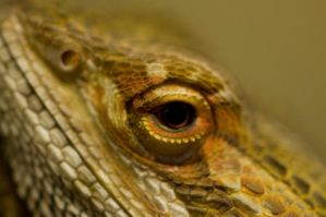 Bearded Dragon Stock 5 by FairieGoodMother