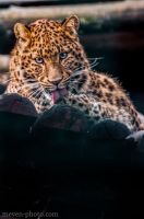 Leopard by brijome