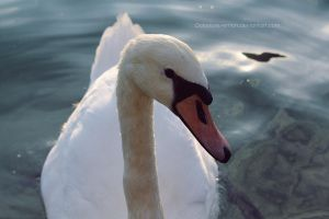 Swan by DoloresReventon