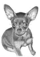 Chihuahua by Jbergas