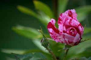 rose bicolore by shag213