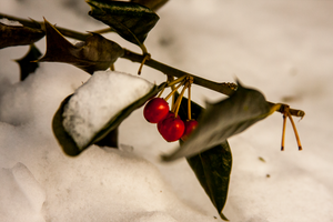 Berries n Snow by briant1234