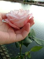 ROSE II by infidem-stock