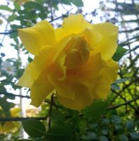 My Yellow Rose 5 by KisaragiChiyo