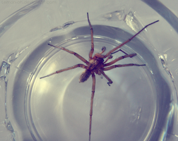 Male Hobo Spider by Lemon-oh