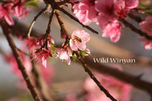 In a Sea of Pink by WildWinyan