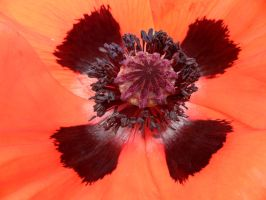Poppy close-up by Paul774
