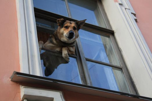 a dog looks out from a window by katty9999