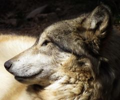 Gray Wolf Stock 1 by HOTNStock