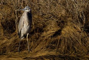 Heron 4 by bovey-photo