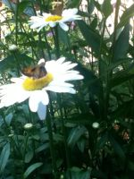 Daisy and Butterfly by leighbennett
