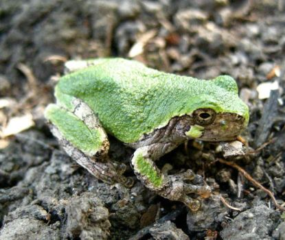 green froggy by co1dpaws
