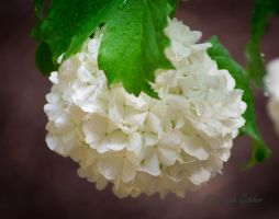 Snowball Bloom 1 by StephGabler