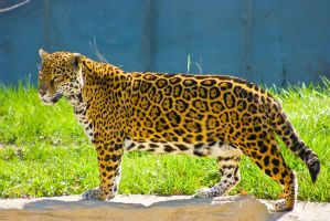 jaguar68 by redbeard31