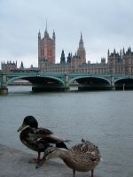 ducks in london by laughcrylive