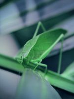Anglewing Katydid, Stern Look by KMourzenko