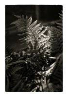 Fern by Talkingdrum