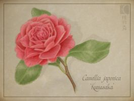 Camellia japonica by cambium