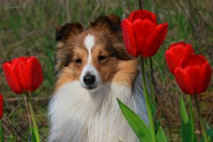 Sheltie and tulips by Aannabelle