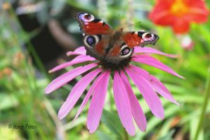 Pfauenauge  /  Peacock Butterfly by bluesgrass