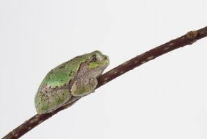 American tree frog rest on a branch by AmirNasher